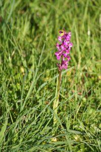 Pembrokeshire orchid at Cresswell Barn Farm Campsite
