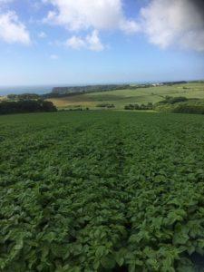 Field of Pembrokeshire new potates